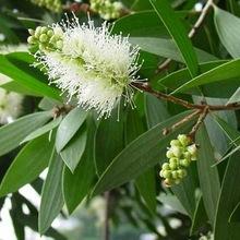 Cajuput - Melaleuca leucadendron/cajuputi viridiflora