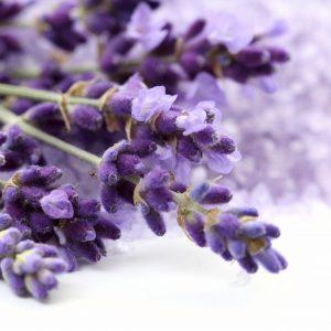 Lavender - Lavendula officinalis