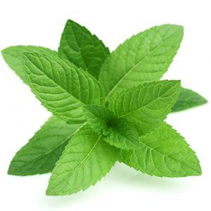 Peppermint - Mentha piperita