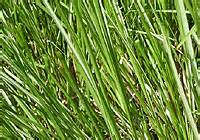 Vertivert - Vetiveria zizanoides