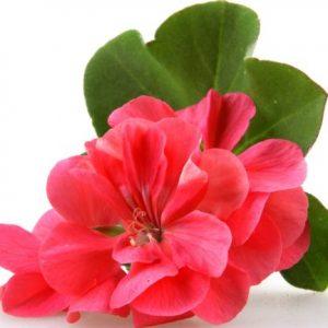 Geranium - Pelargonium odorantissimum var. graveolens, roseum